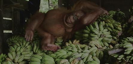 Orangutan Coffee